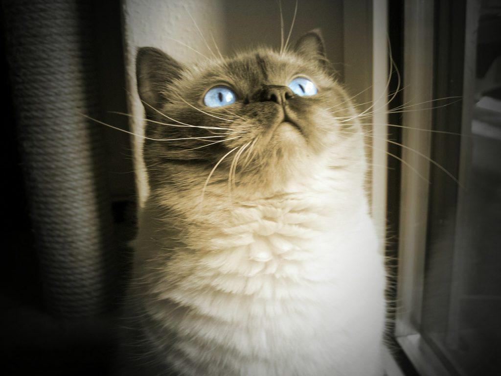 Chat beau et blanc