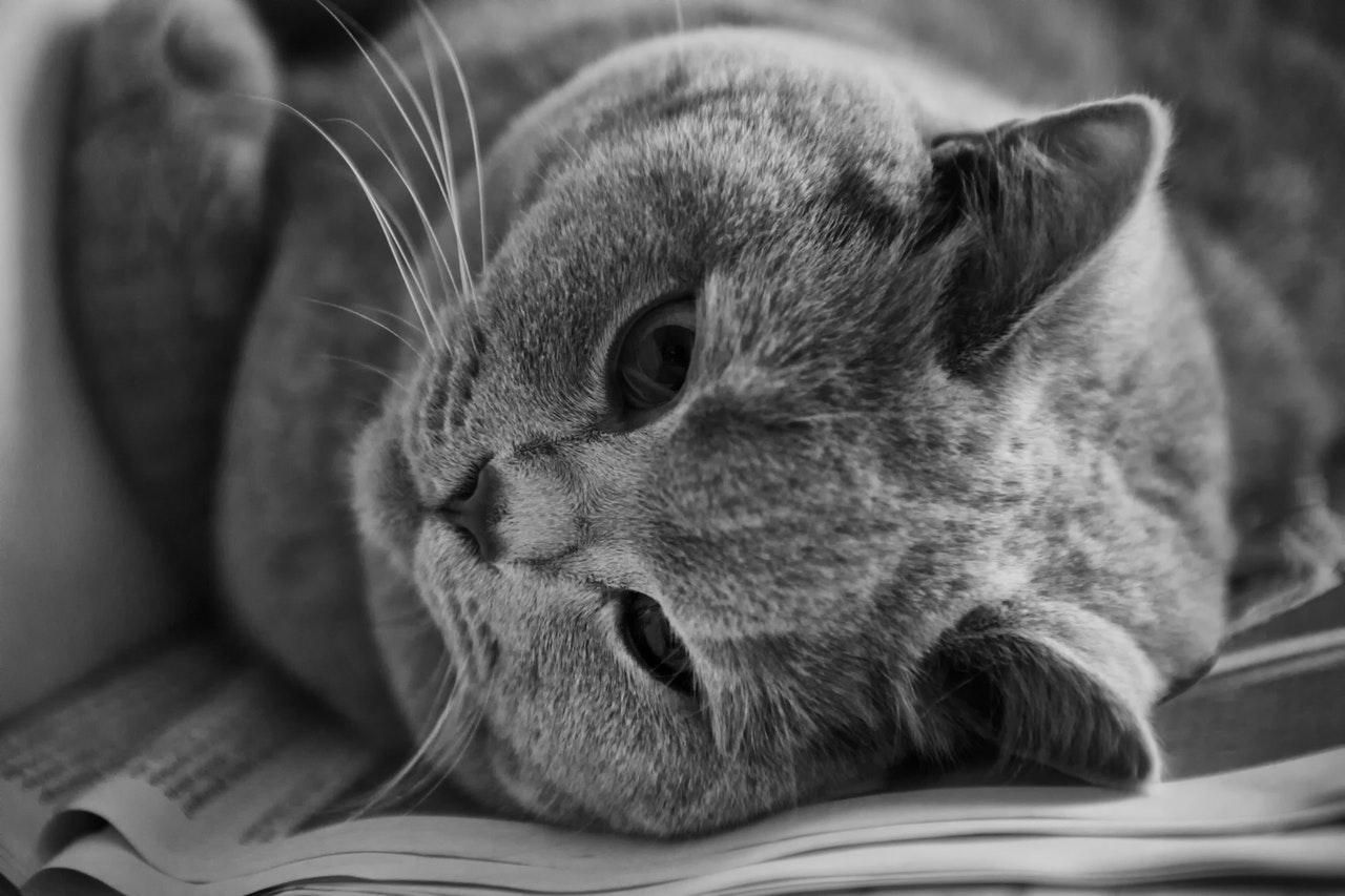 Photo en noir et blanc d'un British Shorthair allongé